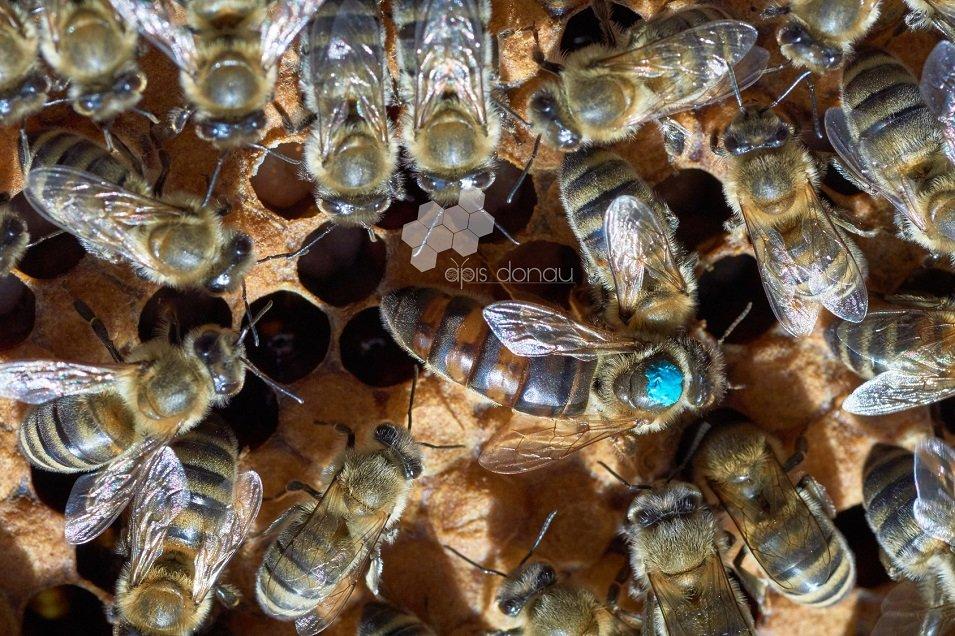 Krainas bišu mātes (Apis mellifera carpathica)