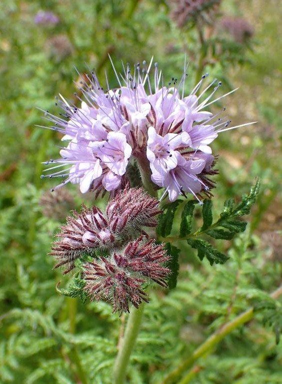 Facēlija (Phacelia tanacetifolia Benth.)